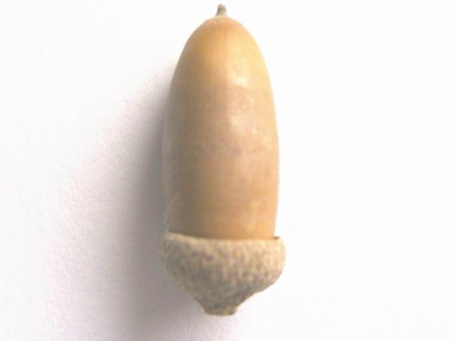 コナラの画像 p1_1