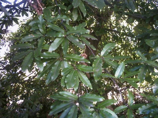 ウラ側 クヌギの木 クヌギの木 クヌギの木 クヌギの樹皮 クヌギの雄花 クヌギの雌花 クヌギのど