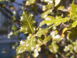 semicarpifolia_ki2.jpg