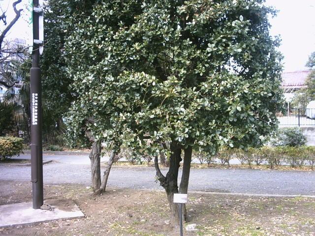 ウバメガシの画像 p1_2